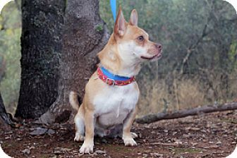 Jamestown, CA - Pug/Corgi Mix. Meet Buggs, a dog for adoption. http://www.adoptapet.com/pet/17126843-jamestown-california-pug-mix