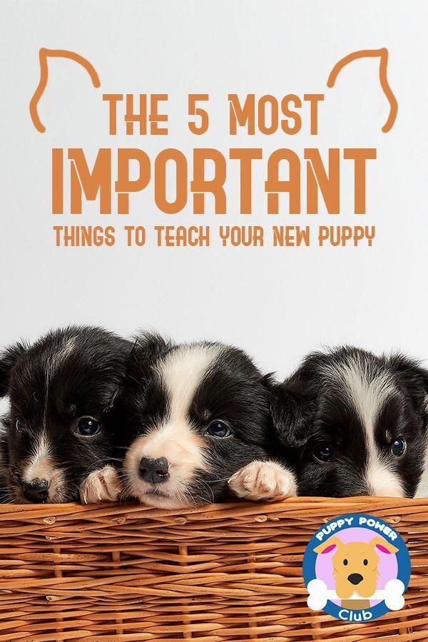 Puppy Training Simplified And Made Easier For You If You Have A