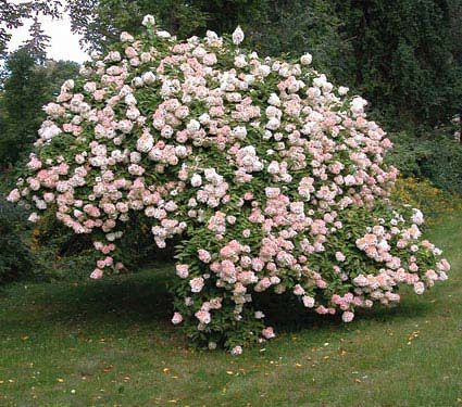 PeeGee - Hydrangea paniculata. Large conical white to pink blooms, Peegee's tolerate cold and require several hours of sun a day. They can grow quite large, and are tolerant to pruning, so can be used as a hedge. They also bloom a little later, August and September. They are the only variety that can be pruned into tree form.