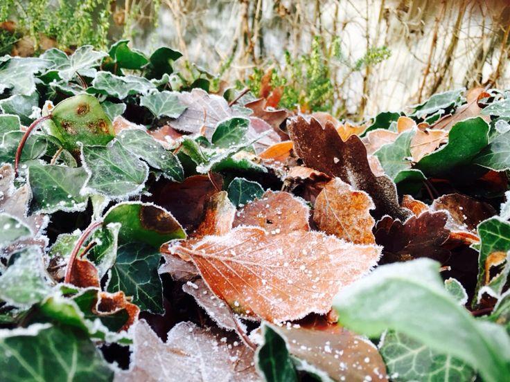 Frisen leaves
