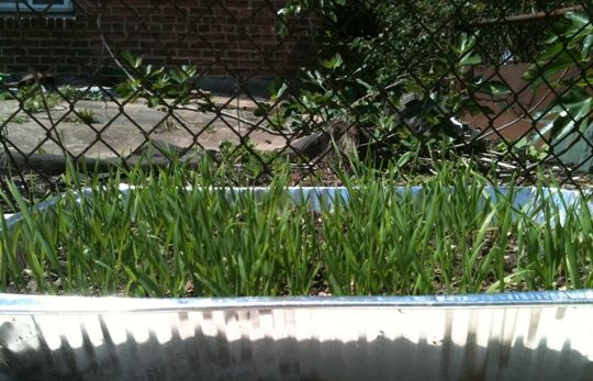 Grow Wheatgrass at home. An awesome homemade super food.