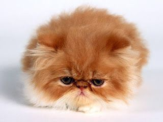 Red Persian Cat