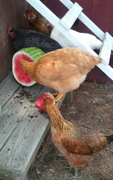 Fresh Eggs Daily: Beating the Heat - our girls love watermelon!!! {And other mellons! And raisins, tomatoes, just about anything!! ~Pege}. Wouldn't this scene make a beautiful wallhanging?