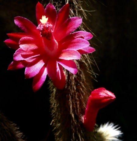 """Este cacto é conhecido como """"Rabo de Macaco"""". É uma planta fácil de cultivar, mas suas flores só surgem se receber luz direta. É uma planta ..."""