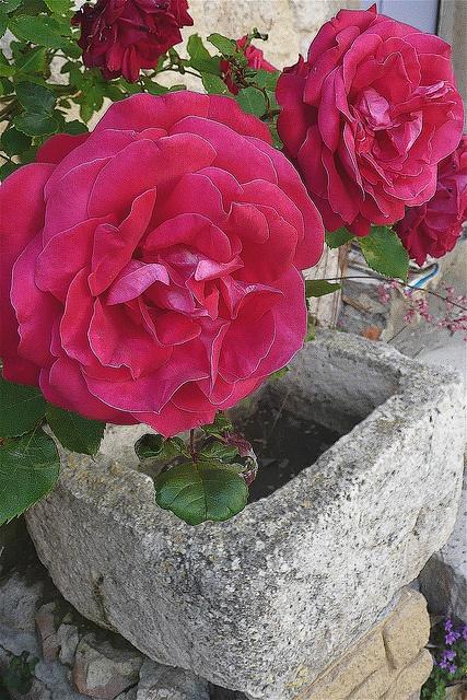 18 best Juste la Drôme en Rose images on Pinterest Blossoms