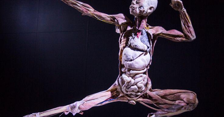 Exposição Human Bodies mostra o corpo humano em Niterói
