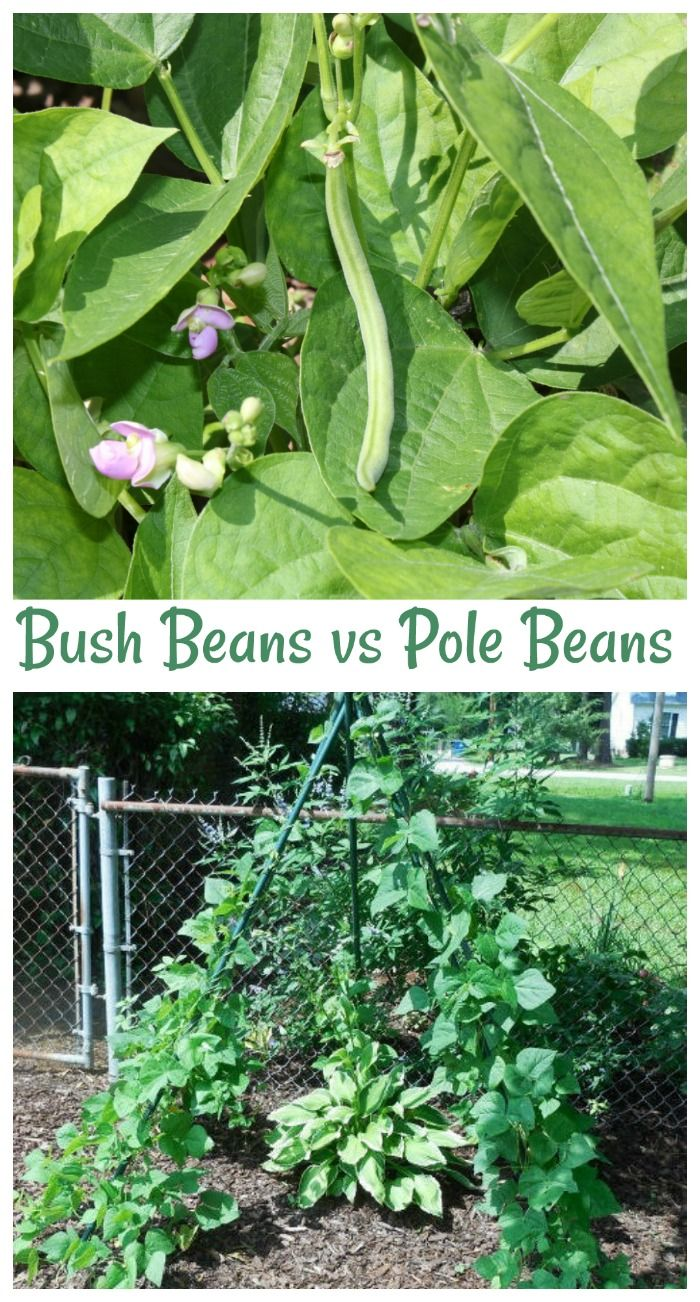 Growing Green Beans Pole Beans Vs Bush Beans Bush Beans