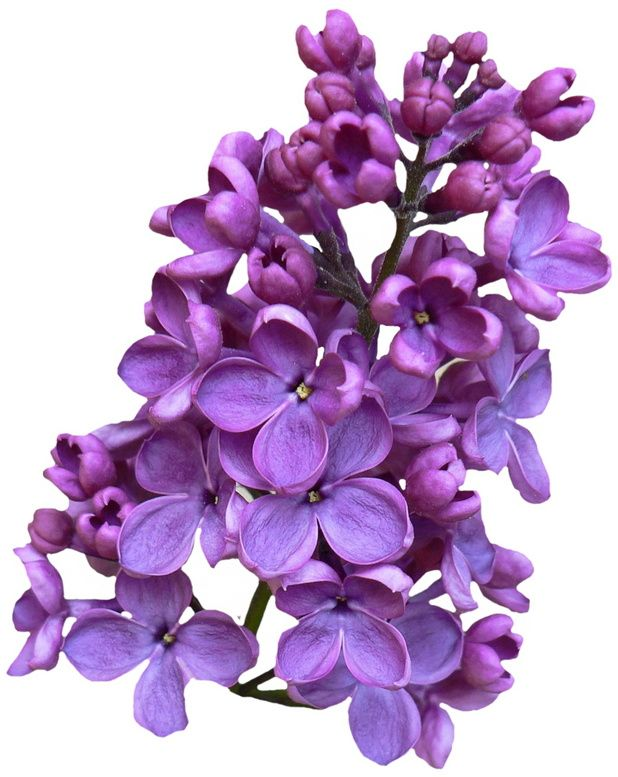 28 best lilac blossoms images on pinterest blossoms flowers and lilac rh pinterest co uk Lilac Black and White Clip Art Lilac Black and White Clip Art