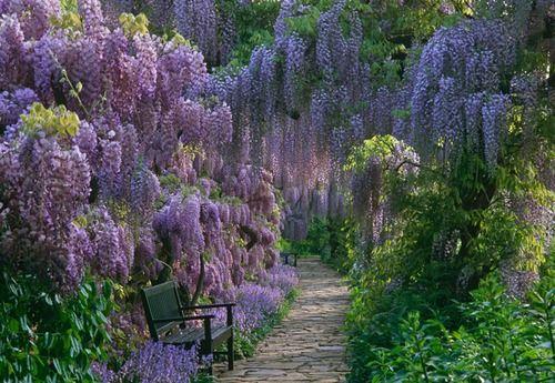 Wisteria delight: Favorite Places, Purple, Nature, Beautiful, Wisteria, Gardening, Gardens, Flowers
