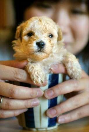teacup poodle!!!