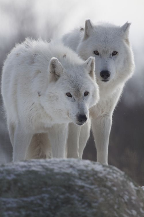 Arctic Wolves , also known as the Melville Island wolf is a possible subspecies of gray wolf native to the Canadian Arctic Archipelago, from Melville Island to Ellesmere Island. Wikipedia