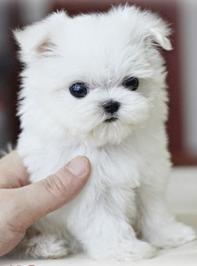 Why are small dog breeds popular anyway Get the scoop on small dog breeds that…