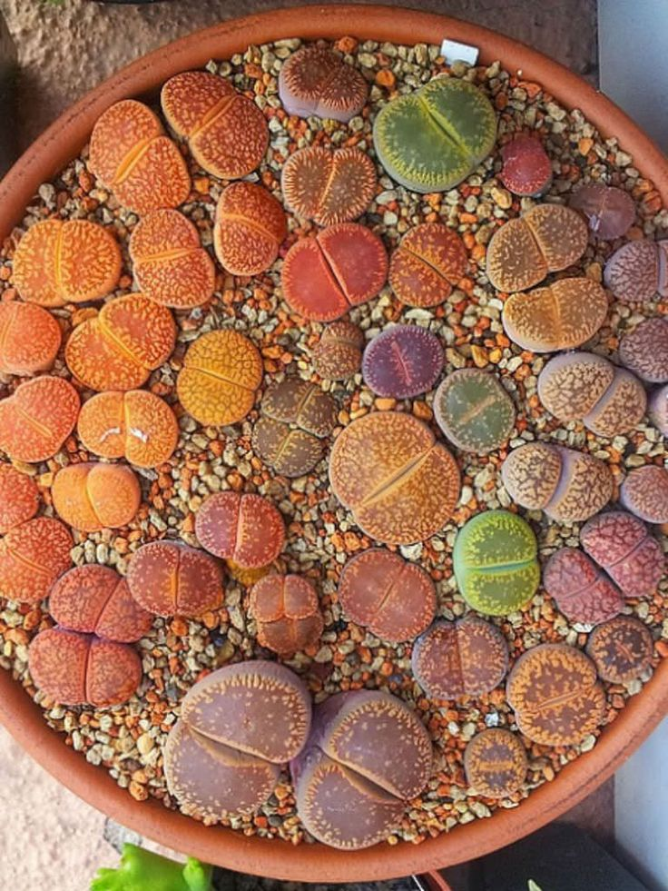 Lithops aucampiae - Living Stones is a small caespitose succulent plant, up to 2 inches (5 cm) tall. With age it may form small clusters of...