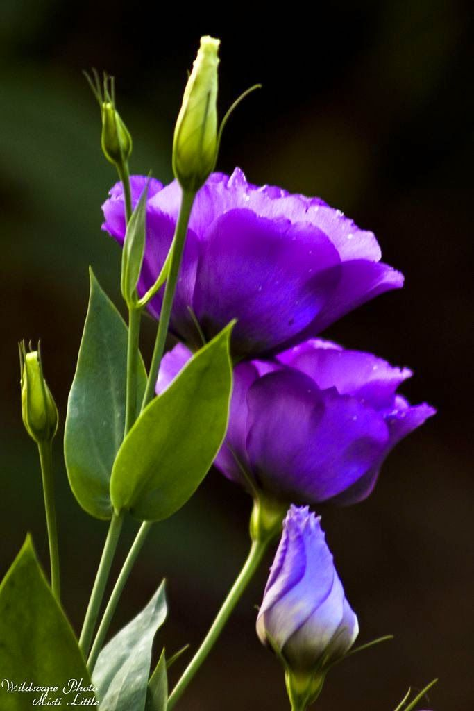 Eustoma, a genus of three species in Gentianaceae, grows natively in warm regions of the Southern United States, Mexico, Caribbean or northern South America. Examples grow mostly in grassland. These flowers are commonly known as Lisianthus. They are single or double. Both types can be found in all ranges of the possible colors listed