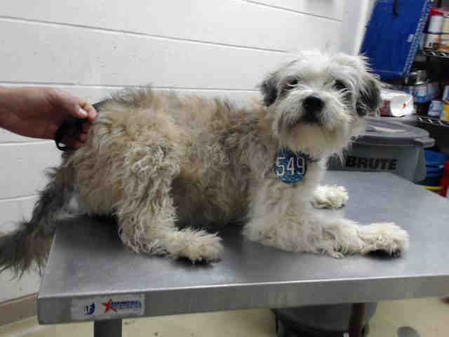OLGA - ID#A473184 My name is OLGA I am a female, white and cream Polish Lowland Sheepdog mix. My age is unknown. I have been at the shelter since Nov 29, 2016. This information was refreshed 40 minutes ago and may not represent all of the animals at the Harris County Public Health and Environmental Services.