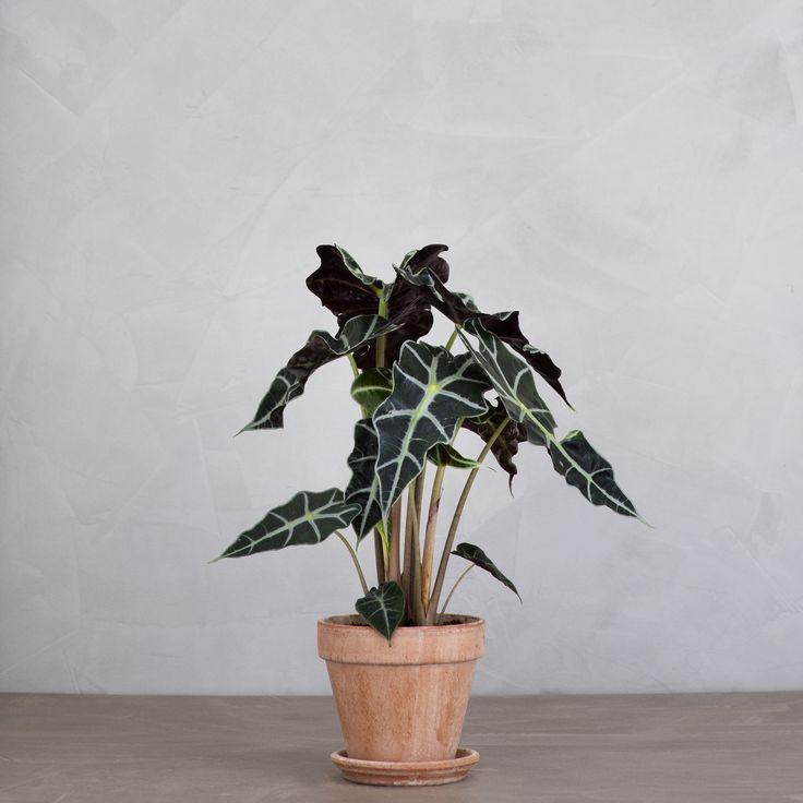 Greenify - Køb den smukke Alocasia hos Greenify. Find dine nye stueplanter her.
