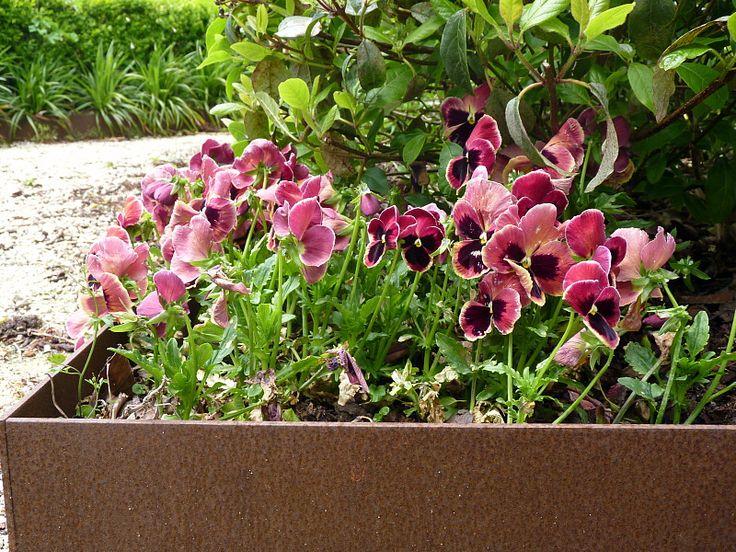 Pansies & violas in antique shades | Beauchamp, HEDGE Garden Design & Nursery