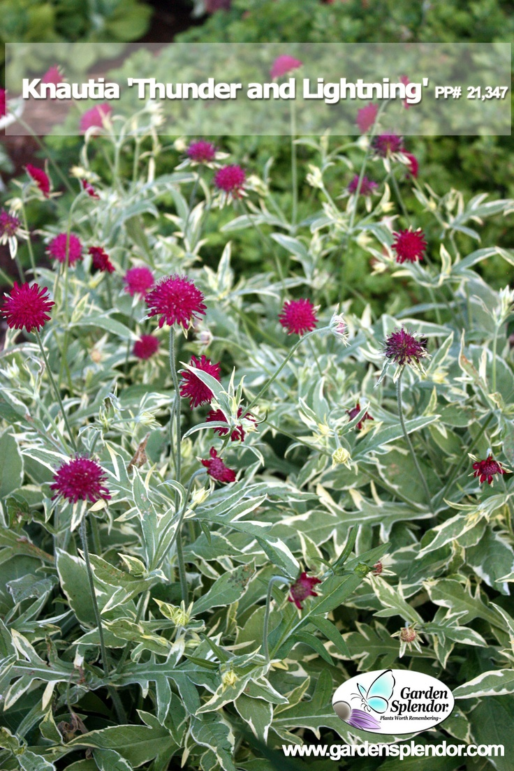 Knautia U0027Thunder And Lightningu0027 Is A Must Have Plant For Mixed Beds And  Borders