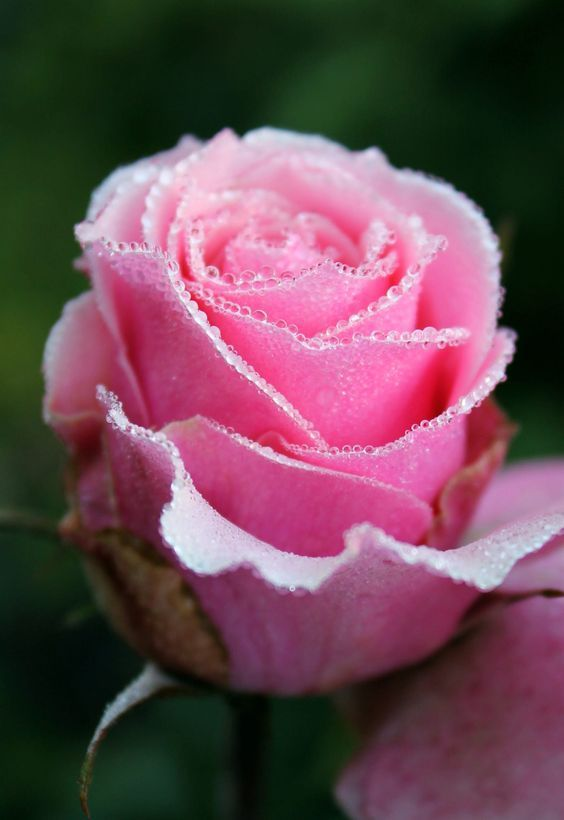 Rose with dew. - by Lauren Young.