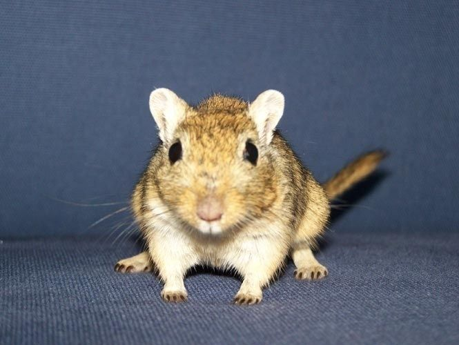 """""""Meriones unguiculatus"""" é o nome científico dos chamados ratos do deserto e significa pequeno guerreiro com garras. Donos de um temperamento dócil e sociável, os gerbos podem ser adotados como animais de estimação e por seu faro apurado são utilizados para detectar drogas em bagagens nos aeroportos.  Fotografia: Wikimedia commons."""