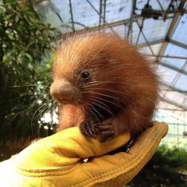 Os porcos-espinhos de cauda preênsil são originários da América do Sul. Eles possuem uma cauda que lhes permite agarrar em galhos e faz deles excelentes escaladores. | Este bebê porco-espinho parece tão macio que você vai querer abraçá-lo