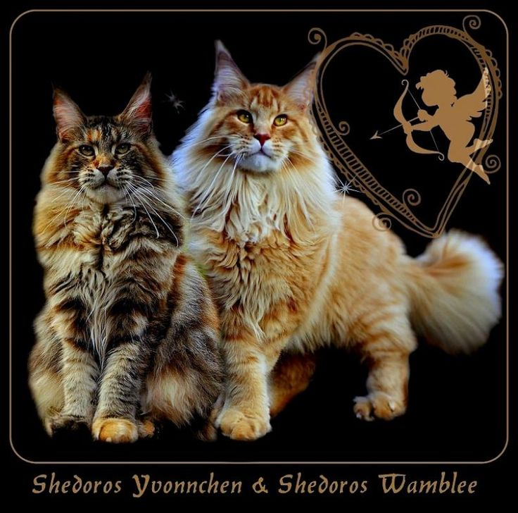 Maine coon kittens for sale in germany