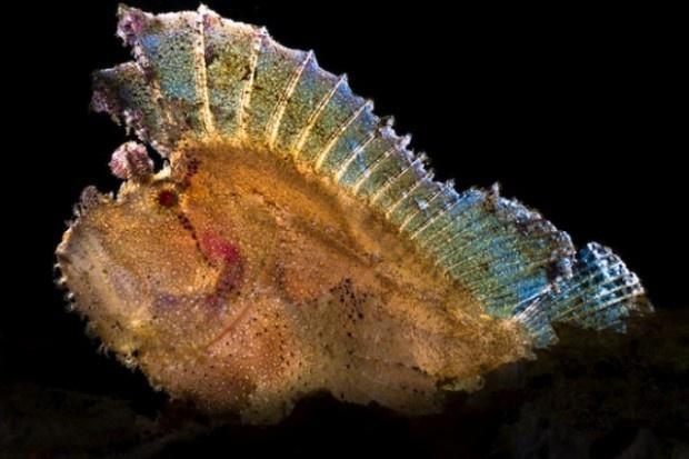 Taenianotus triacanthus o scorfano foglia  #strani #animali #mare #curiosita