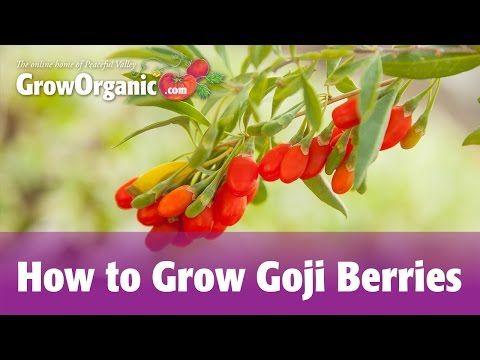 Growing Goji Berries and Goji Berry Benefits - Gardens All