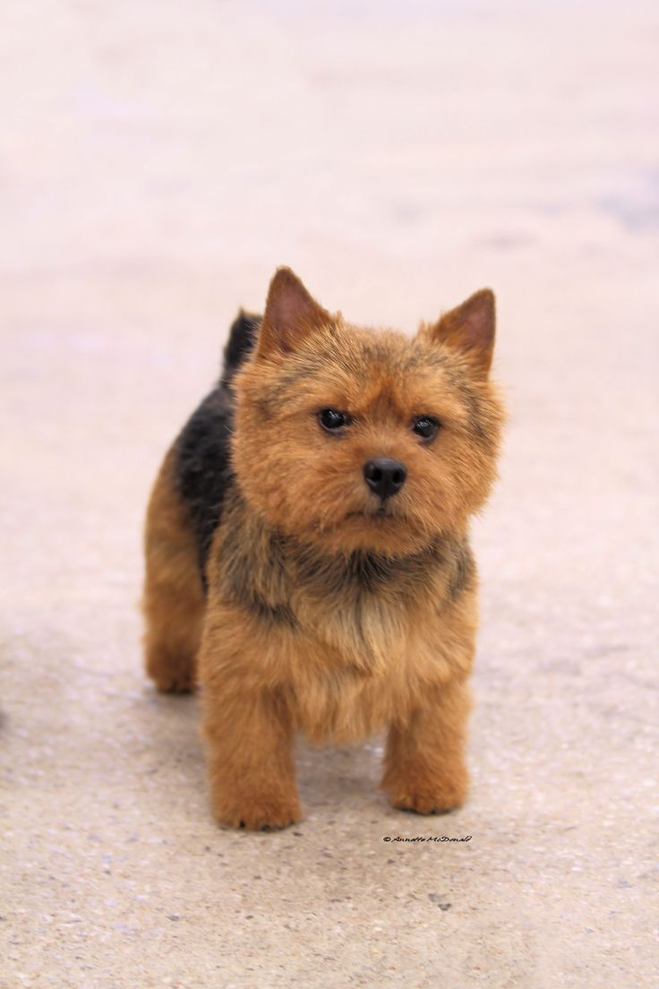Australian Terrier Dog, from what I've read these lil cutties would be a great match for me and my girls. :)