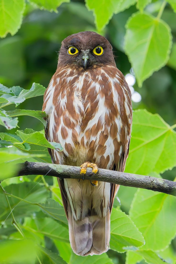 Brown Hawk Owl By Yuta Terada Unusual AnimalsGiftBeautiful