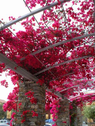 more bougainvillea trellis