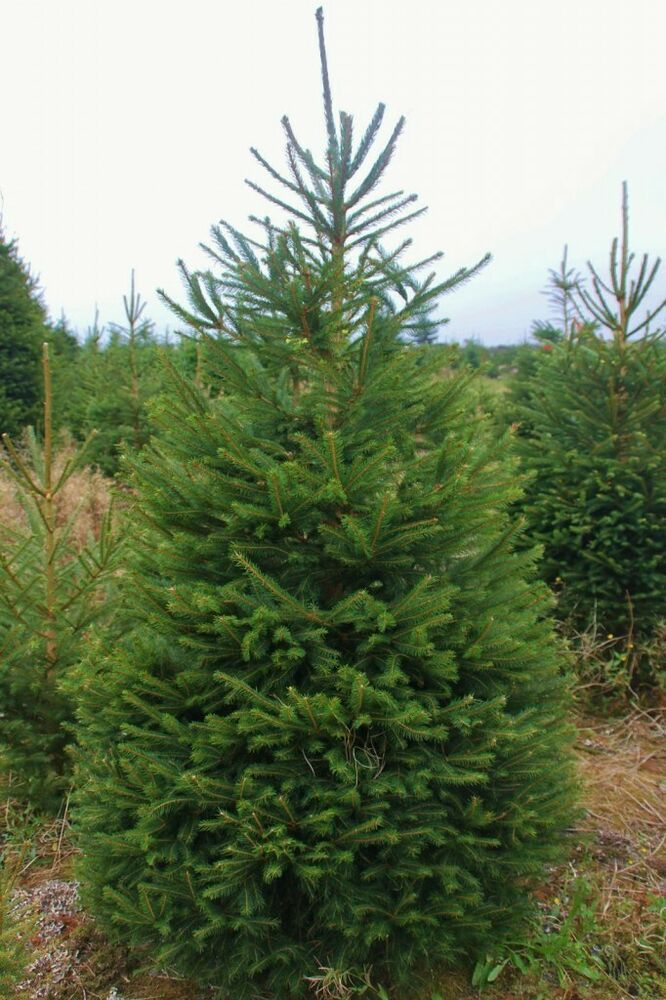 Details About Picea Abies Norway Spruce Christmas Tree Fragrant