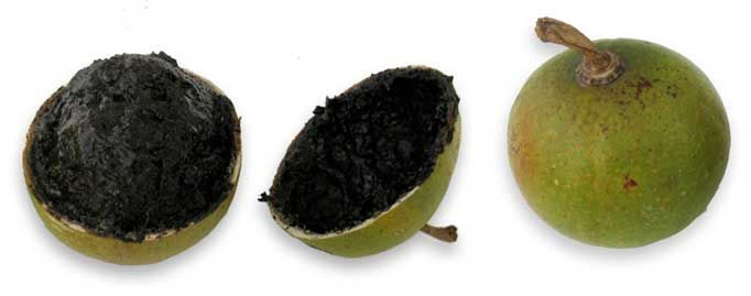Cujete, Crescentia cujete, Calabash tree: Philippine Medicinal Herbs / Philippine Alternative Medicine