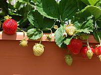 Hoe om aardbeien in potten groeien op het balkon van het huis