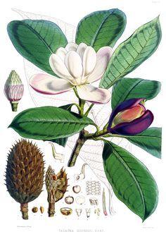 magnolia botanical drawing - Google Search