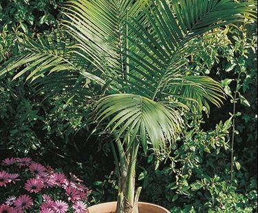 Nice Patio Palm | Bloom IQ