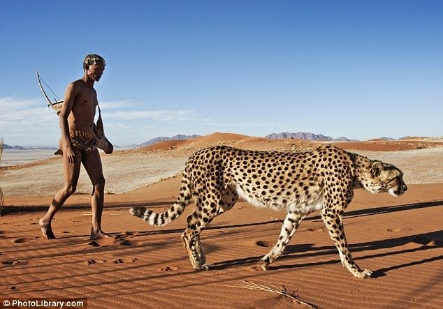 Africa | A San tribesman (once known as Kalahari Bushmen) spends time in the Kalahari Desert  with one of 3 cheetahs that unfortunately had to be hand reared after their mother was shot by poachers 5 years ago.  A team of dedicated San ensure that they are able to spend 3 hour every day exploring and exercising in the desert. Naakuse Wildlife Sanctuary, Namibia