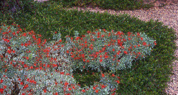 plantes couvre sol verte et rouge fleurie et rampante