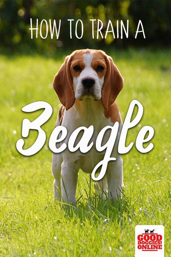 How To Train A Beagle Dog Training Beagle Basic Dog Training