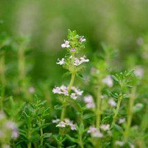 Thymus vulgaris (Thyme) Garden Thyme - 9 cm