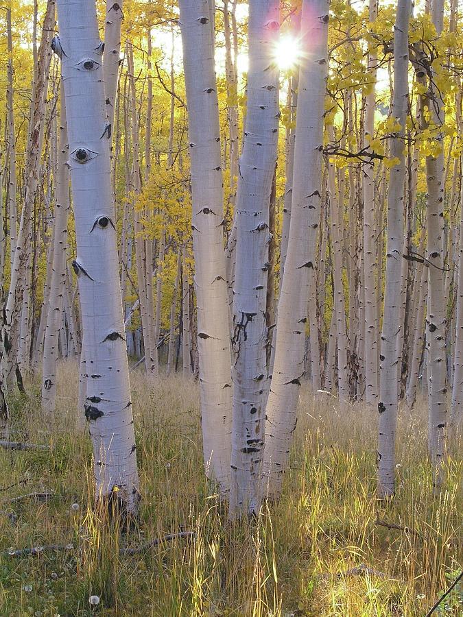 ✮ Aspen Trees In Autumn