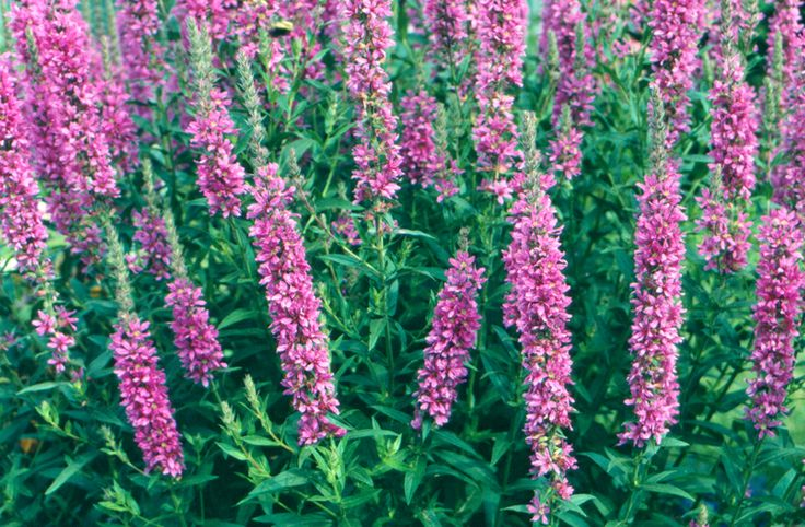 the bad influence of purple loosestrife on canadas wetlands Feeding and development of the glassy-winged sharpshooter, homalodisca vitripennis, on australian native plant species and implications for australian biosecurity.