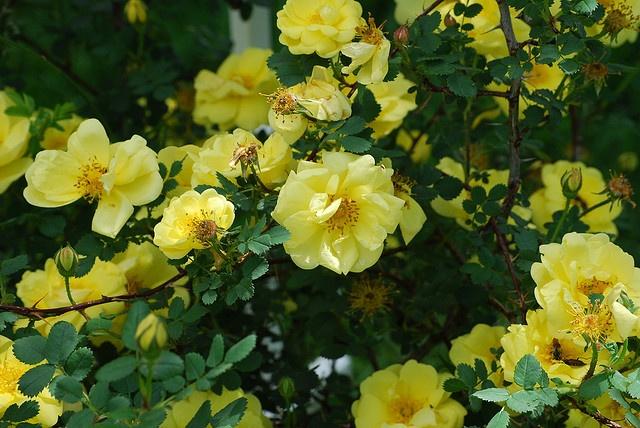 85 best shrubs for shade images on pinterest gardening for Low maintenance shrubs full sun