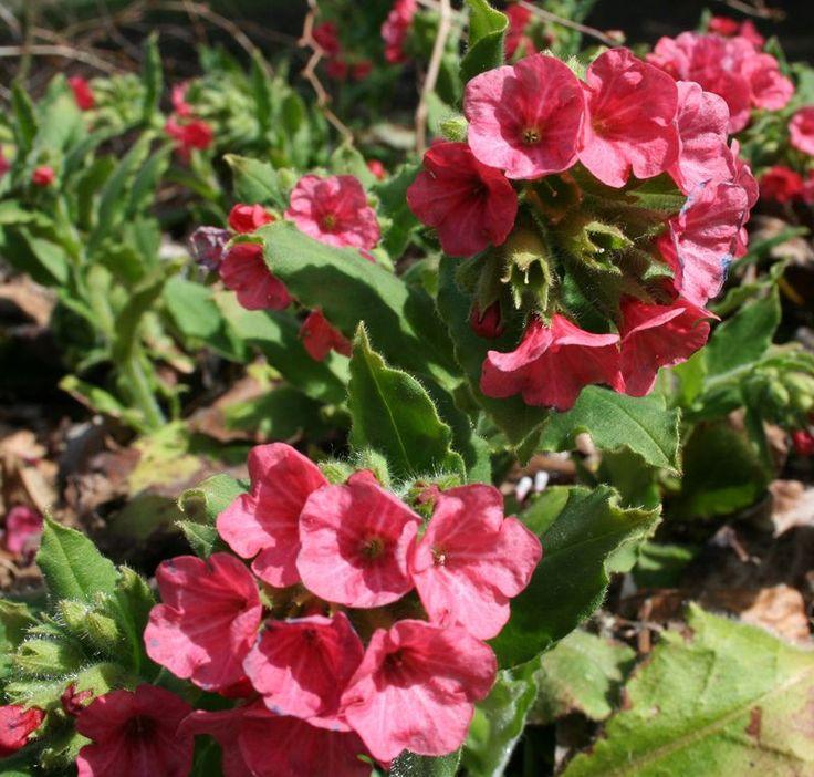 Pulmonaria Rubra Lungwort Online From Jacksons Nurseries