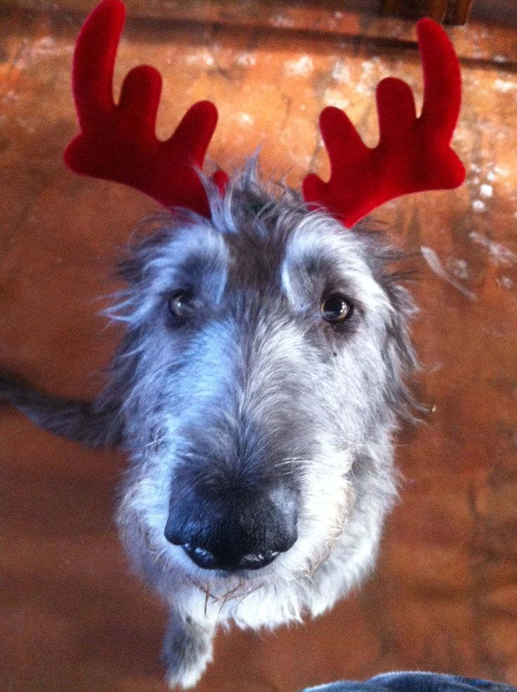 Irish Wolfhound Christmas Reindeer