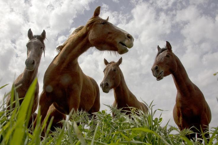 Cavalli selvatici lungo il confine tra Siria e Israele, sulle alture del Golan.