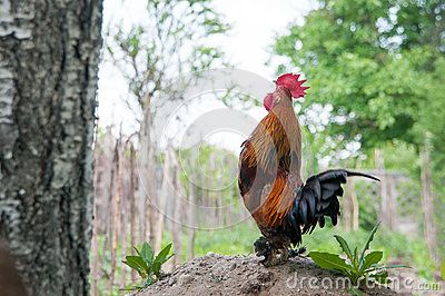 Rooster giving the wake up signal at a country side household