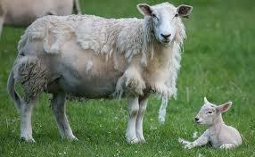 Wiltshire sheep