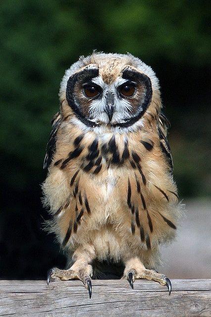 Striped Owl - (photo by Exmoor Owl) kinda looks like he's wearing a face mask :-)