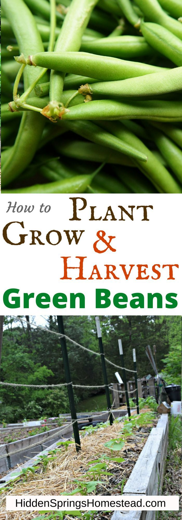 Do you love Green Beans. Learn how-to plant, grow, and harvest green beans of your very own. No more buying them from someone else!